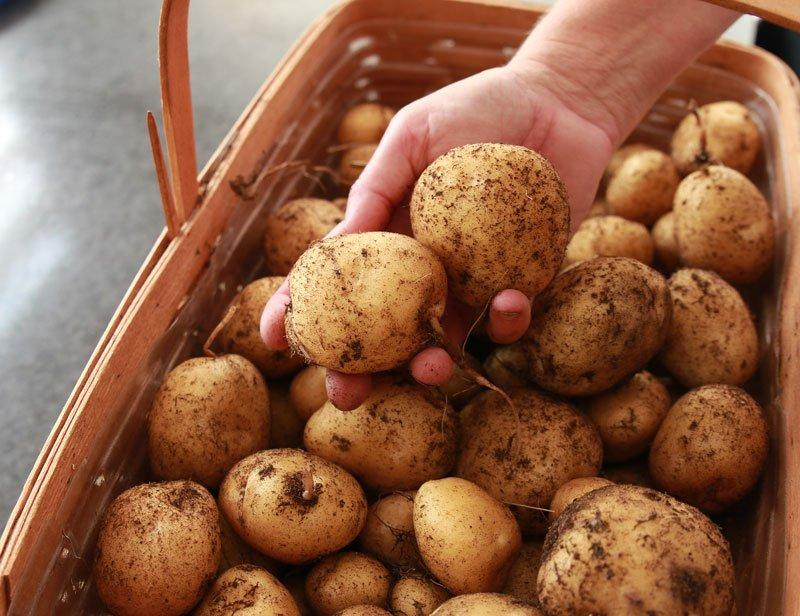 Step-By-Step Instructions to Grow Potatoes at Home