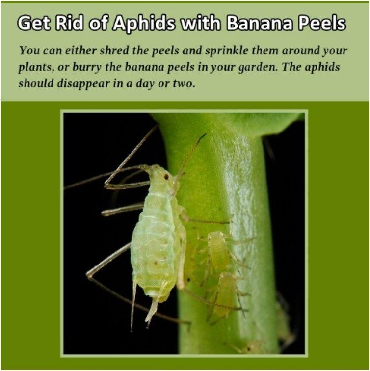get-rid-of-aphids