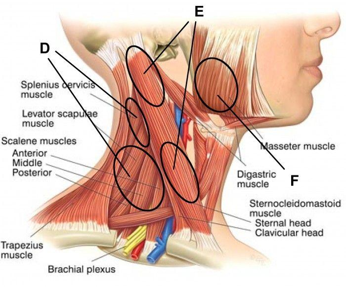 under chin muscle diagram wiring diagram priv underarm muscles diagram under chin muscle diagram #8
