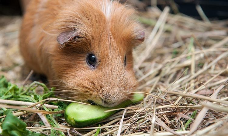 Tips for Feeding Guinea Pig: What's good what's not
